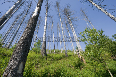 dead spruce picea abies after infestation