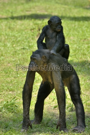bonobo female with baby on the