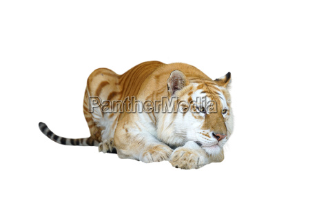 golden tabby tiger or strawberry tiger