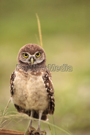baby burrowing owl athene cunicularia perched