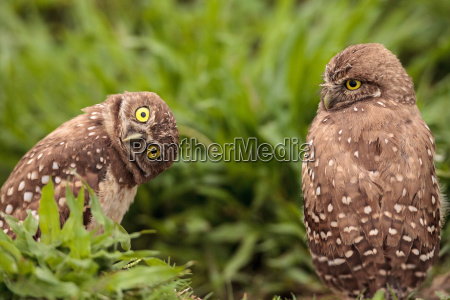 funny burrowing owl athene cunicularia tilts