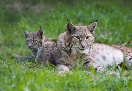 lynx lynx lynx mother animal and