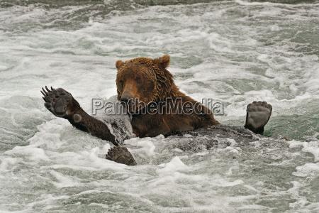 grizzly ursus arctos horribilis lying on