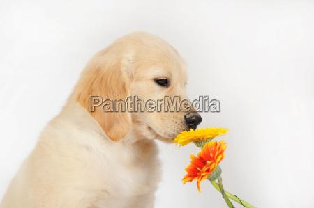 golden retriever puppy 7 weeks old