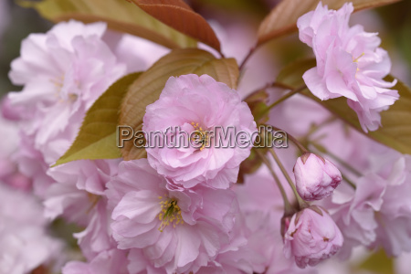 japanese cherry prunus serrulata dark pink