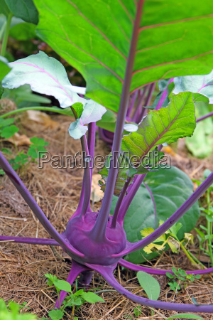kohlrabi brassica oleracea ground cover with