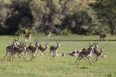 springbok antidorcas marsupialis frightened by the