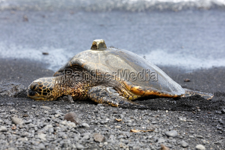green sea turtle with gps receiver
