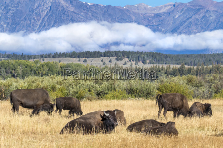 a herd of american bison bison