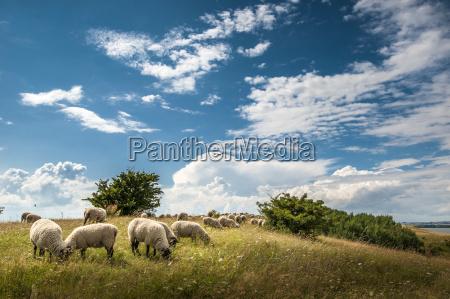 bucolic sights europe grasses sightseeing sheep