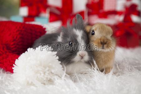 bunny, with, rabbit, , christmas, red, santa - 25313862