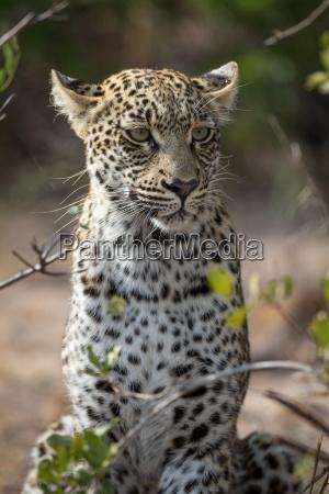 danger mammal fauna africa portrait watchful
