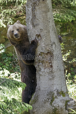 brown bear ursus arctos mother animal