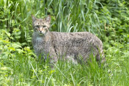 wildcat felis silvestris alttier captive germany