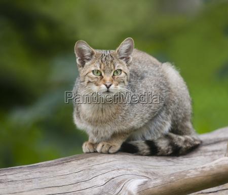 european wildcat felis silvestris captive bayern