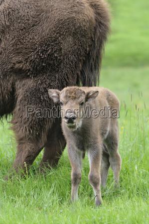 wisent bison bonasus european bison cow