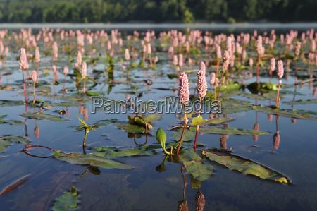 water knotweed persicaria amphibia water knotweed
