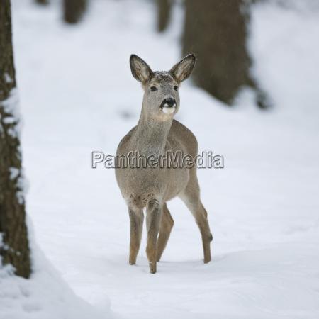 deer capreolus capreolus ricke im winterfell