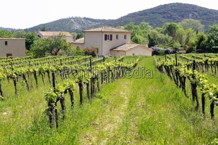the vineyards in the spring
