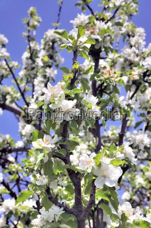 apple tree in bloom announcing spring
