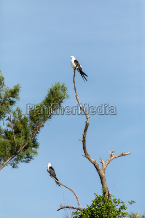 pair of swallow tailed kite elanoides