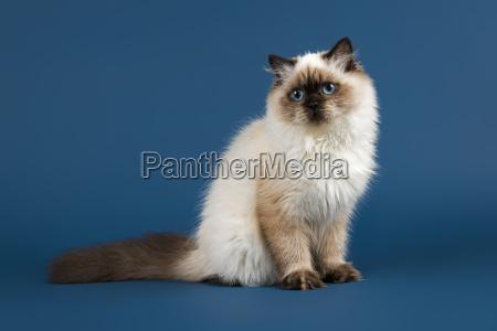 cat british shorthair 36910
