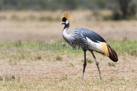 kenya crowned crane 331443