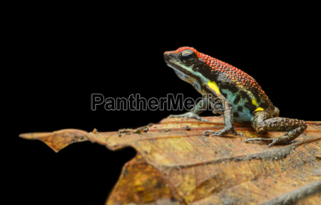 neotropical zaparo poison dart frog allobates