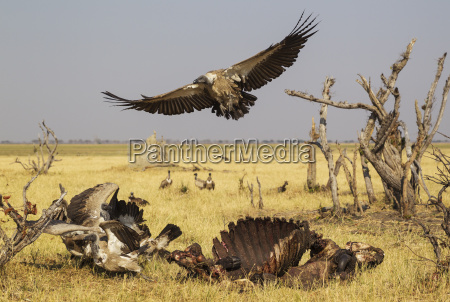 white backed vultures gyps africanus chased