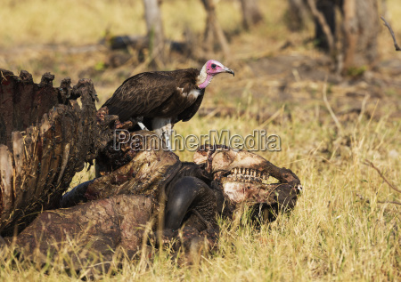 hooded vulture necrosyrtes monachus at the
