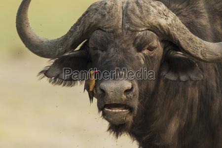 cape buffalo syncerus caffer caffee bull