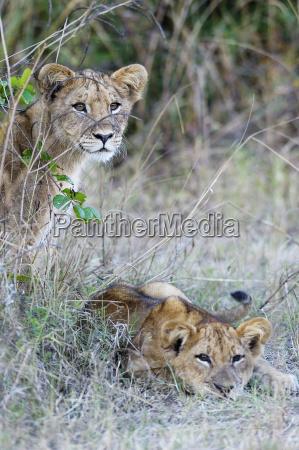 mammal fauna national park africa lion