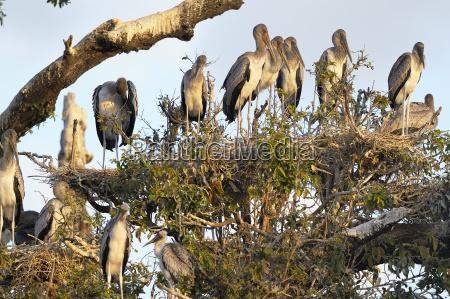 nimmerly mycteria ibis breeding colony young