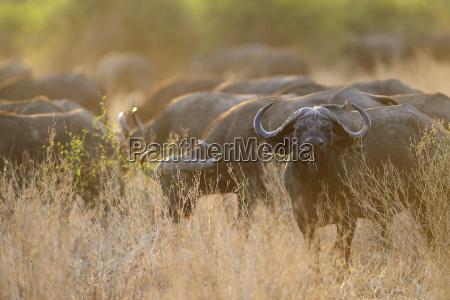 steppe buffalo african buffalo black buffalo