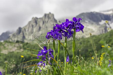 english iris iris latifolia or pyrenees