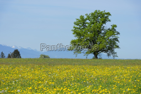 spring meadows with lonely freestanding tree
