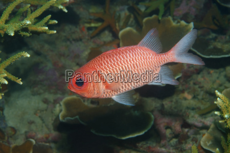 blue lined squirrelfish sargocentron tiere south
