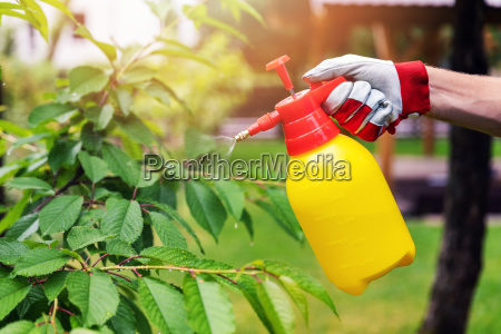 gardener spraying cherry tree against pests