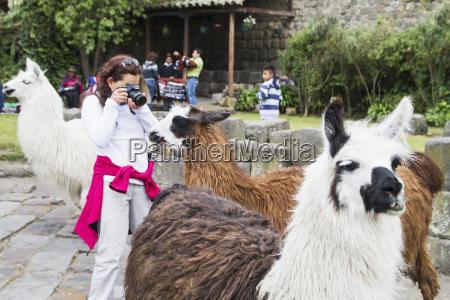 people feeding llamas in the courtyard