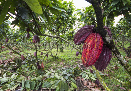 cocoa, pods, on, trees, (theobroma, cacao) - 25406226