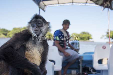 spider monkey ateles climbs on board