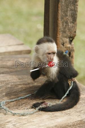 tasbapauni nicaragua monkey eating lollipop