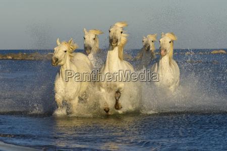 five white horses equus ferus caballus