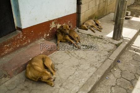 patzicia guatemalacentral america stray dogs resting