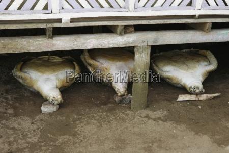 sea turtles lying on backs tasbapauni
