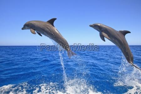 roatan bay islands honduras bottlenose dolphins