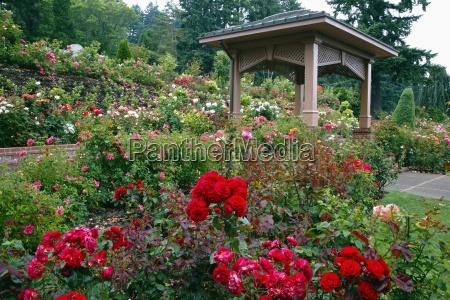 portland rose garden portland oregon united