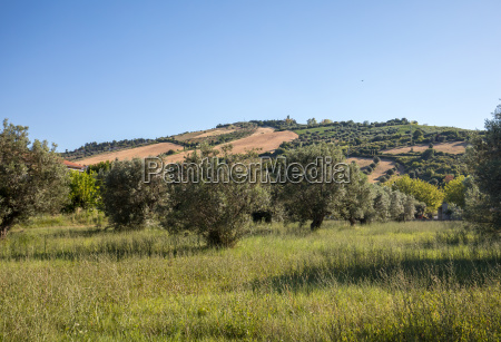 view of olive groves
