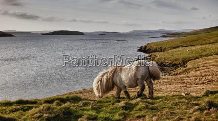 shetland pony at shore shetland scotland