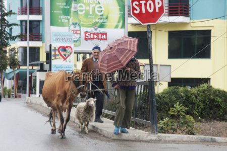 man with a cow and sheep
